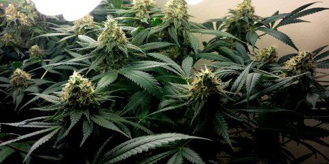 Los diferentes tipos de cannabis