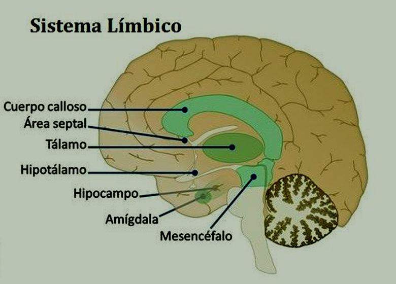 ¿Qué es el sistema límbico?